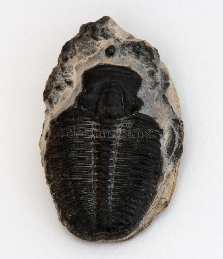 Малое Trilobite стоковые фото