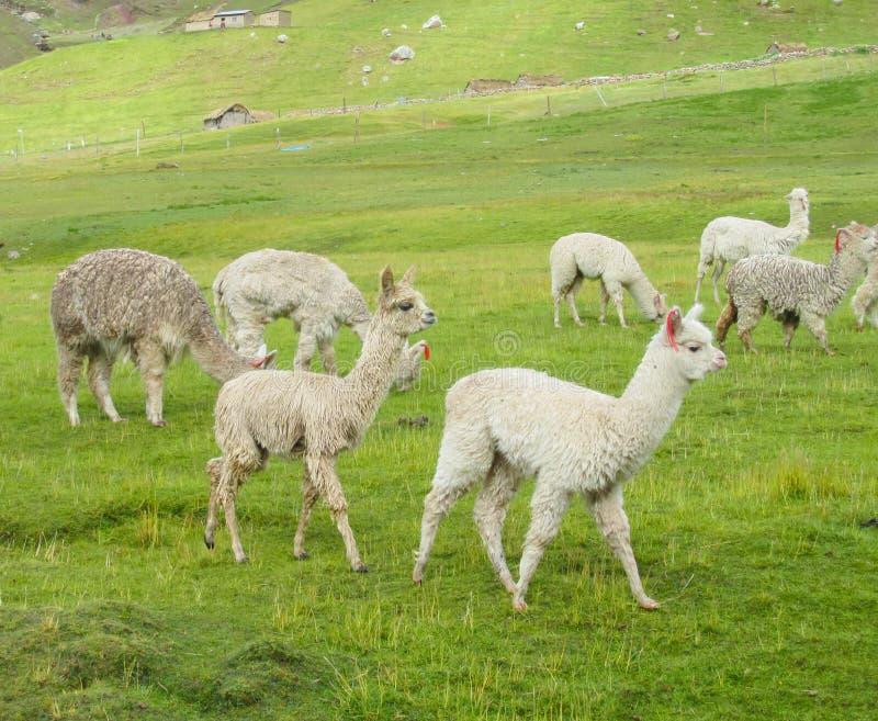 Малые белые ламы на зеленом луге стоковые фотографии rf