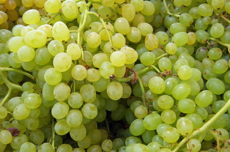 Малые зеленые виноградины стоковые изображения