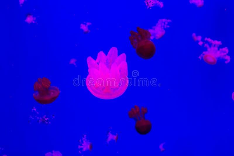 Малые медузы в аквариуме стоковые изображения