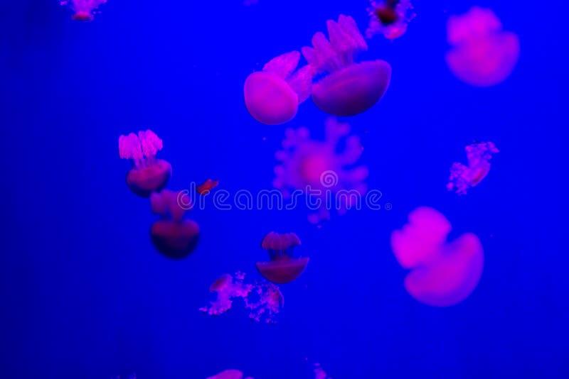 Малые медузы в аквариуме стоковые фотографии rf