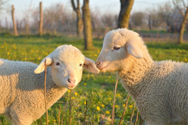 Малые овцы стоковые изображения