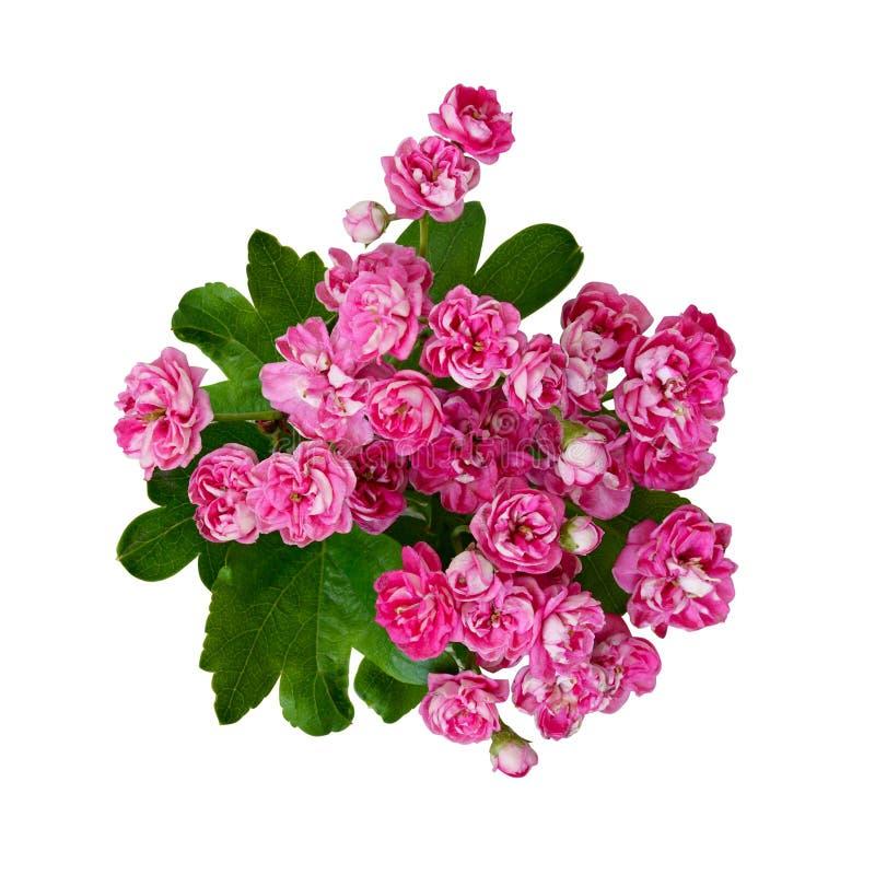 Малые розовые цветки боярышника стоковое фото rf