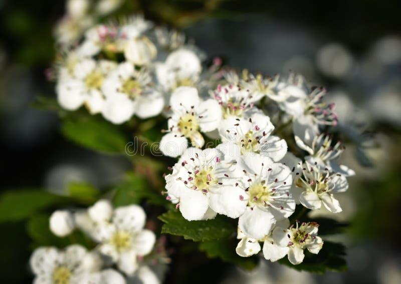Малые цветки боярышника стоковые изображения