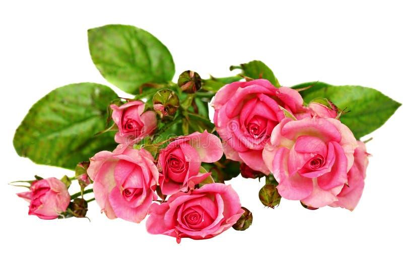 Малые цветки розы пинка стоковые фото