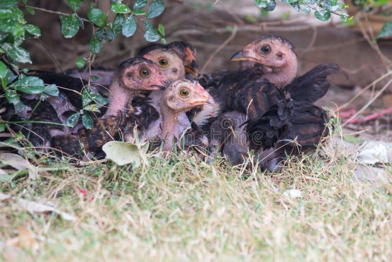 Малые цыпленоки на зеленой траве на свободное растояние обрабатывают землю стоковое изображение