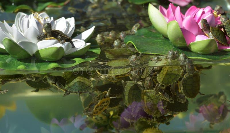 Малые черепахи в аквариуме стоковое изображение