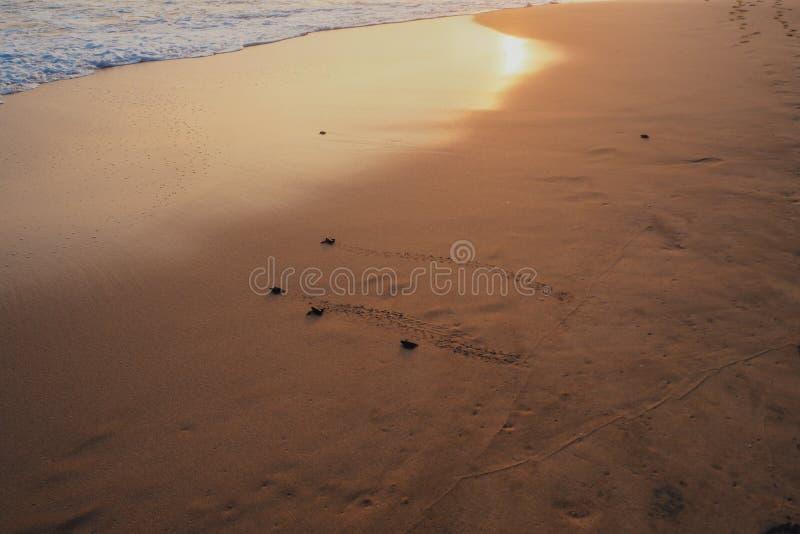 Малые черепахи подпирая к океану стоковое изображение