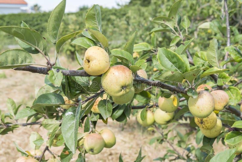 Малые яблоки на дереве стоковое фото rf