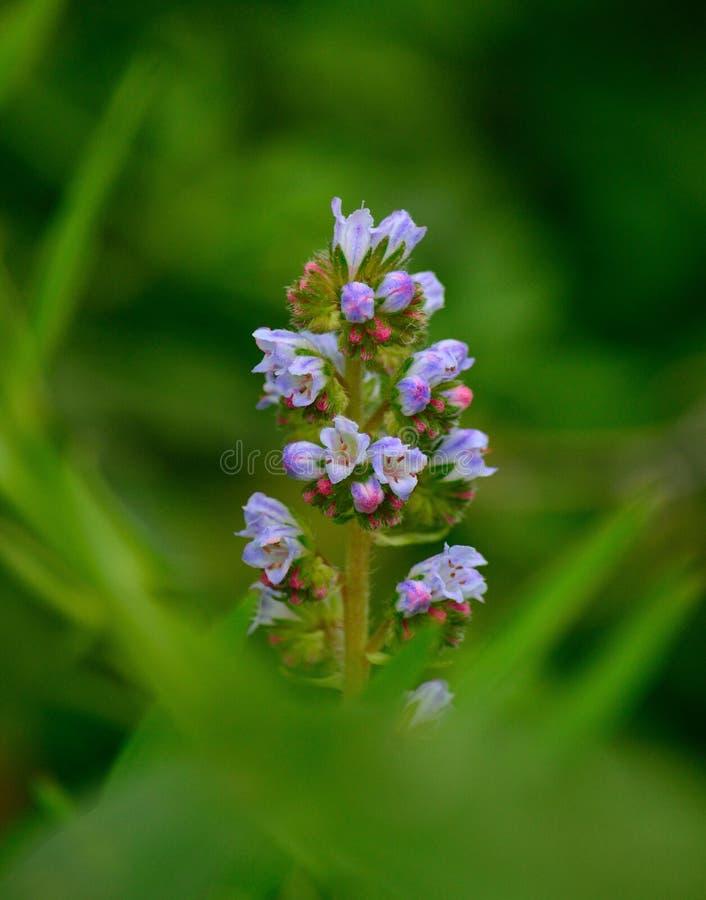 Малые wildflowers, strictum echium стоковое изображение