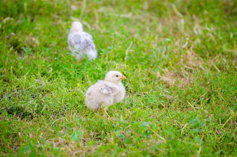 Малый белый цыпленок стоковое фото
