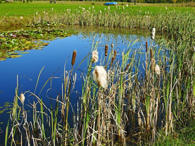 Малый голубой вид на озеро через тростники стоковые фотографии rf