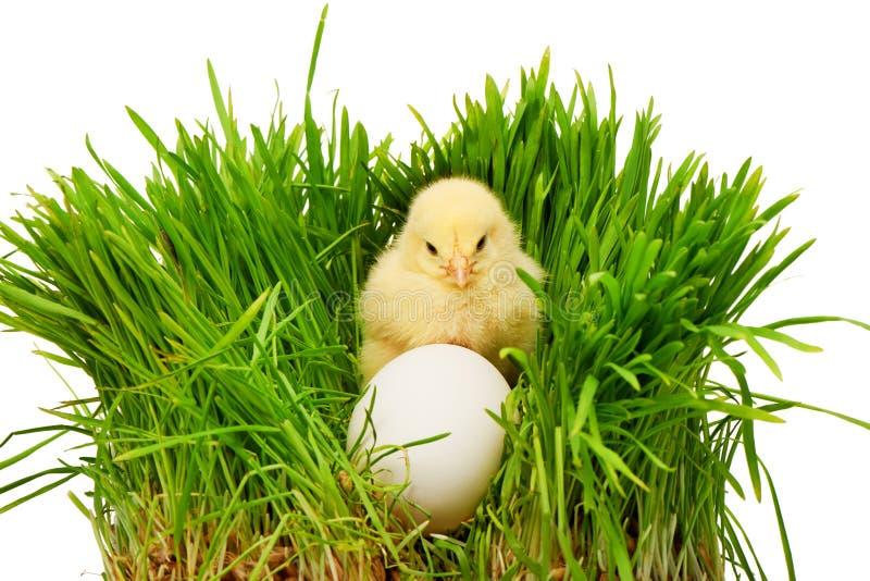 Малый желтый цыпленок за белым яичком в зеленой траве стоковое изображение rf
