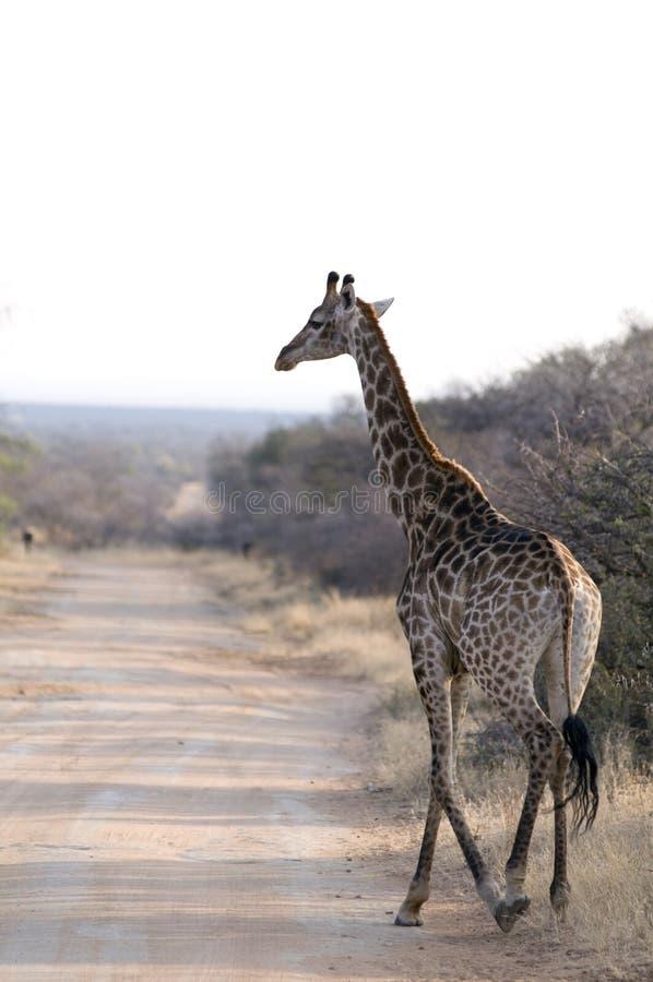 Малый жираф идя вдоль дороги стоковые фотографии rf