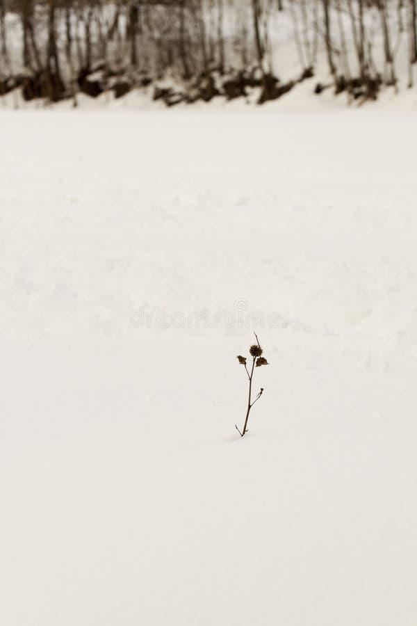 Малый завод в снежке стоковая фотография rf