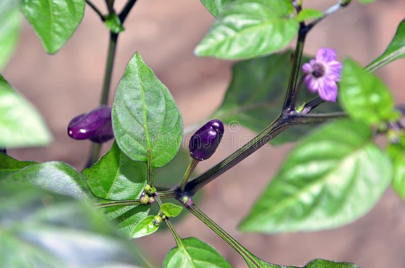 Малый завод перца чилей фиолетовый китайский multicolor в фотографии сада стоковое изображение