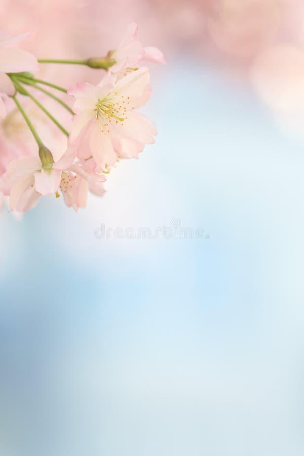 Малый зацветать дерева цветения Сакуры стоковая фотография rf