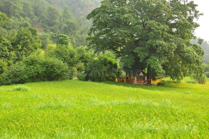 Малый индусский висок под деревом в зеленых рисовых полях стоковое изображение