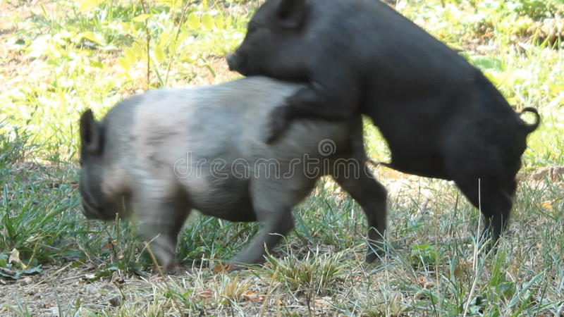 Секс свиней диких