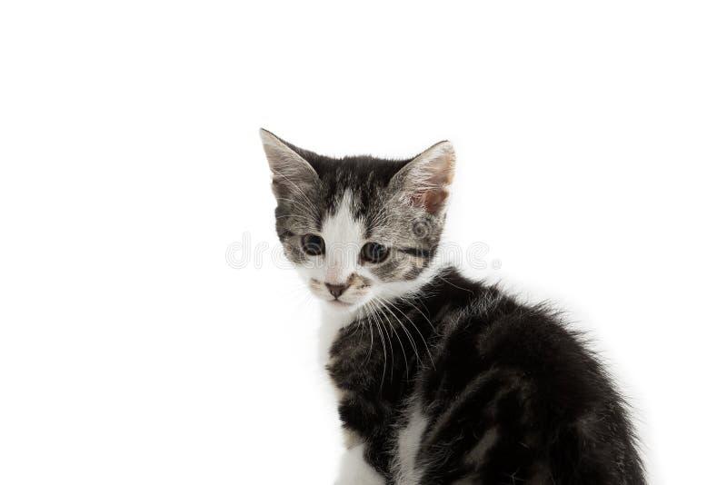 Малый серый котенок на белой предпосылке стоковая фотография rf