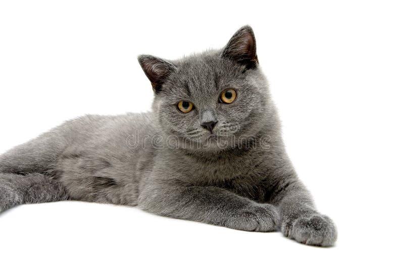 Малый серый котенок на белой предпосылке стоковые фотографии rf