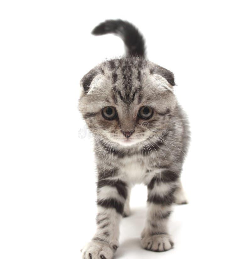 Малый серый сокращать-ушастый котенок изолированный на белой предпосылке стоковые изображения rf