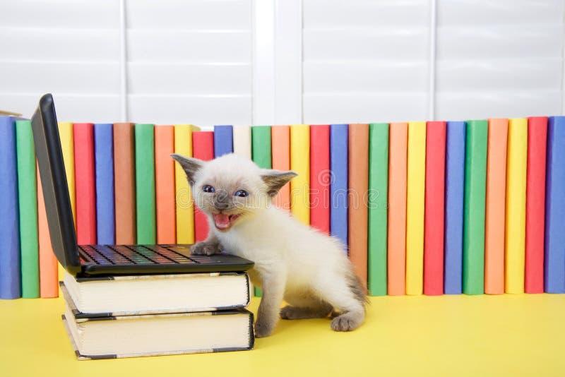 Малый сиамский котенок meowing на телезрителе компьютером стоковые фото