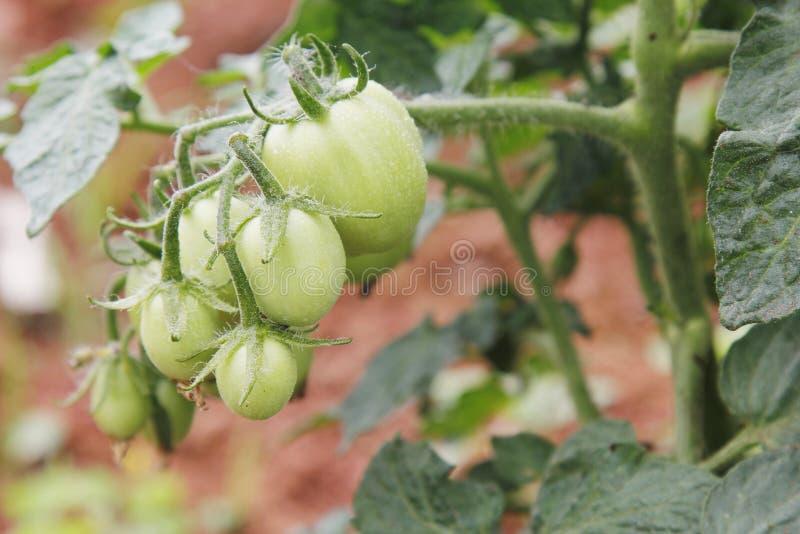 малый томат стоковое фото rf