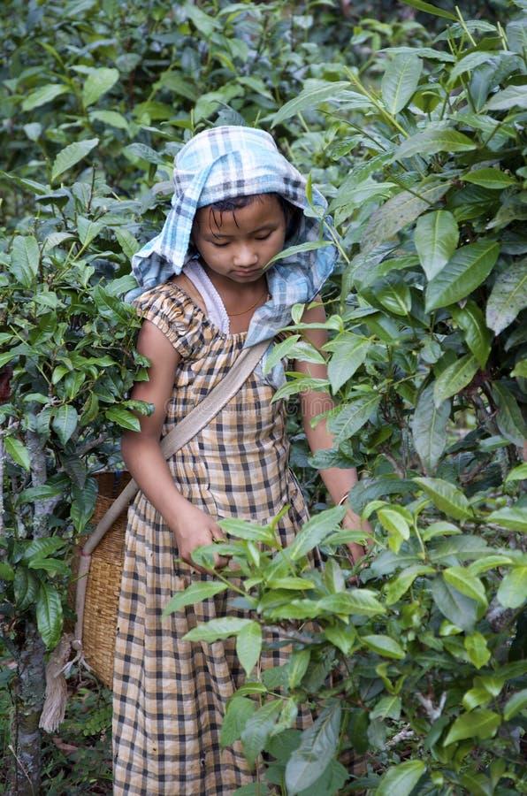 Малый чай рудоразборки девушки в поле стоковые фотографии rf