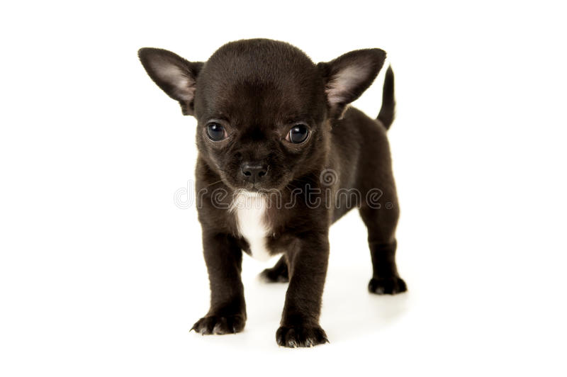 Download Малый черный щенок чихуахуа Стоковое Фото - изображение насчитывающей головка, eared: 37930830