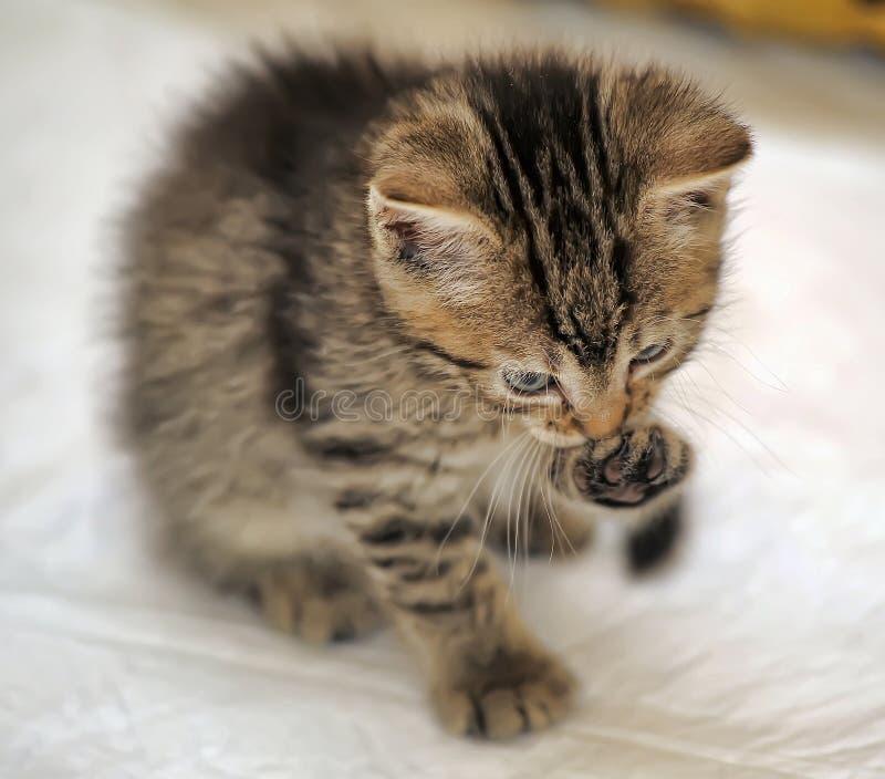 Малый striped котенок моет ногу стоковое фото