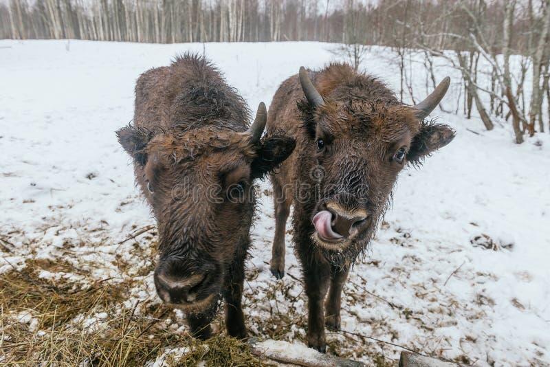 2 малых европейских бизона в национальном парке стоковые фото