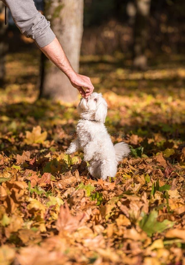 Мальтийсная собака ест еду стоковое изображение