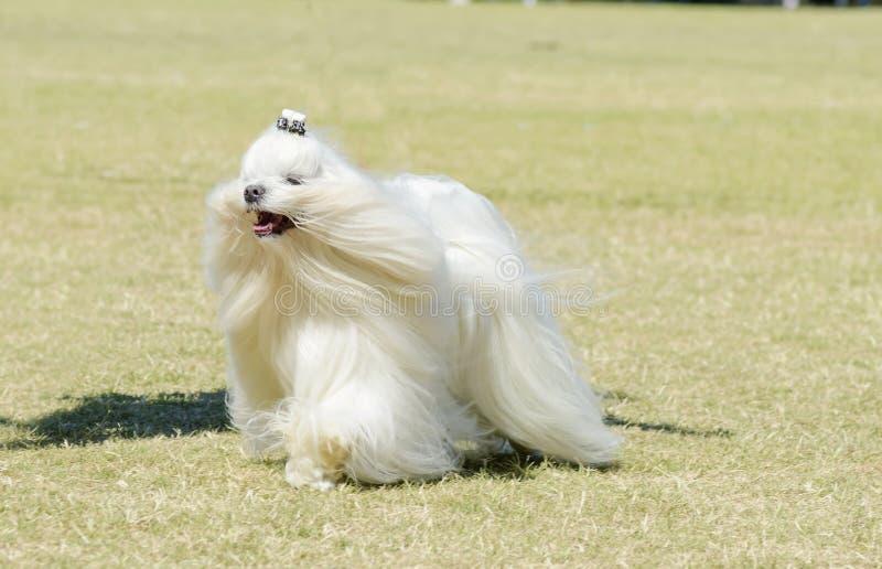 Мальтийсная собака стоковая фотография
