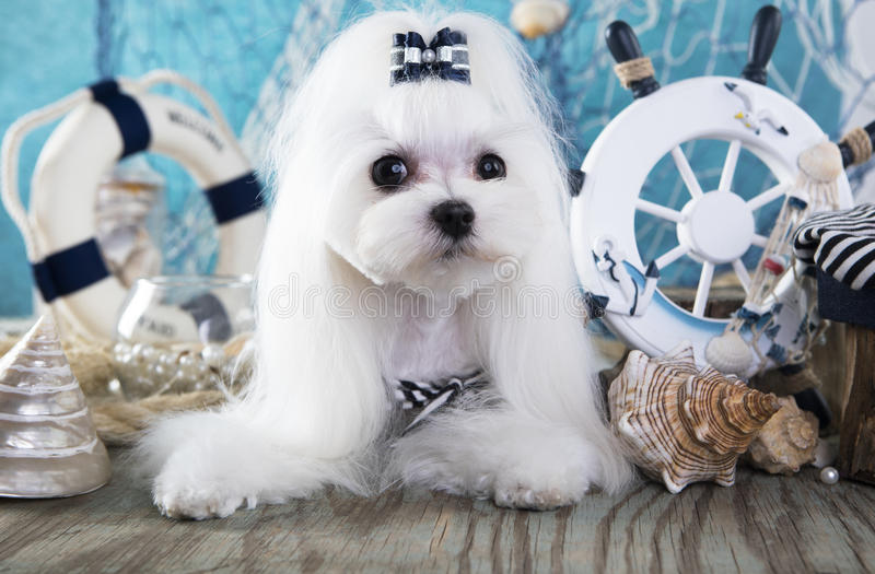 Мальтийсная собака стоковое фото