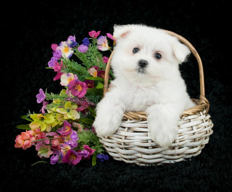 мальтийсный щенок стоковое изображение rf