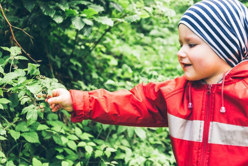 Мальчик вытягивает поленики с куста стоковые фото