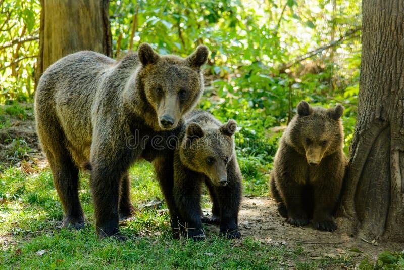 Медведи в лесе от природного заповедника Zarnesti, около Brasov, Трансильвания, Румыния стоковая фотография rf