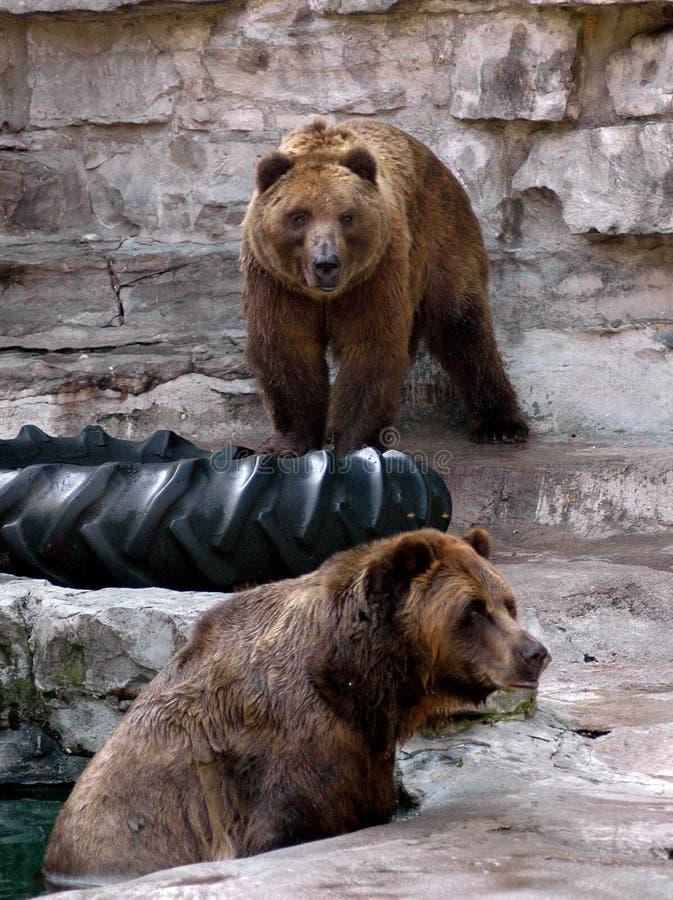 медведи коричневеют звеец 2 стоковая фотография rf