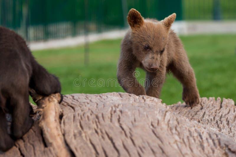 Медведи младенца на журнале стоковое фото