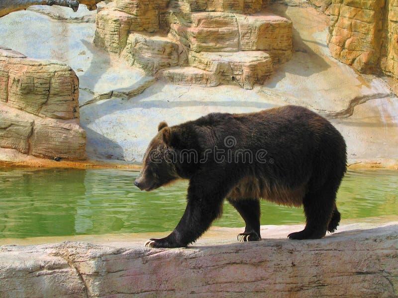 Медведь Гризли, Ursus arctos ужасающие, в Виннипегском зоопарке, Манитоба, Канада стоковое изображение rf