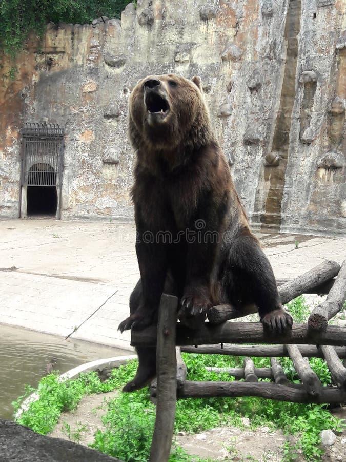 Медведь Грицци в зоопарке в Кордове, Аргентина, Южная Америка стоковые изображения rf