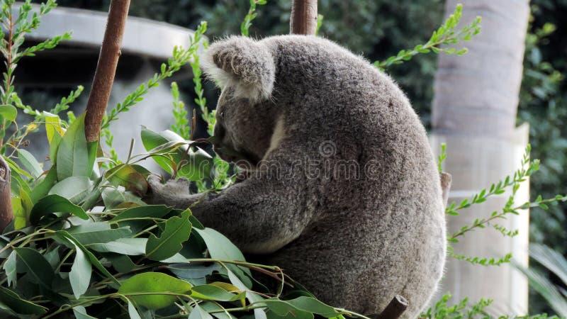 медведь есть листья koala евкалипта стоковое изображение rf