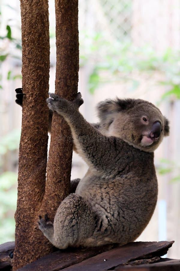 Медведь коалы в зоопарке леса стоковые фотографии rf