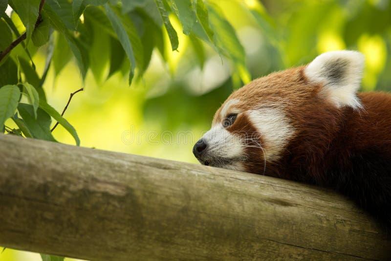 Медведь красной панды отдыхая на журнале, смотрящ отжатый и утомлянный Зеленый лес на заднем плане стоковое изображение rf