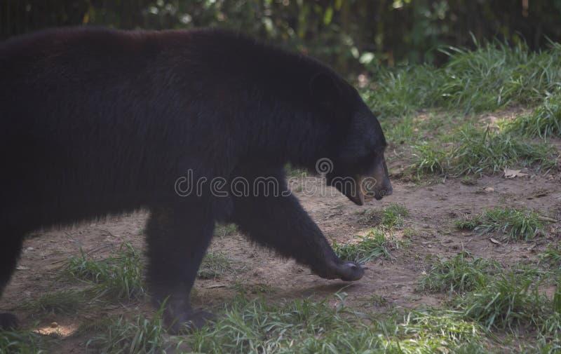 Медведь Луизианы черный стоковое фото rf