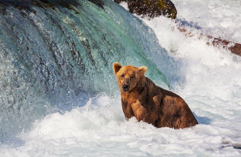 Медведь на Аляске стоковая фотография