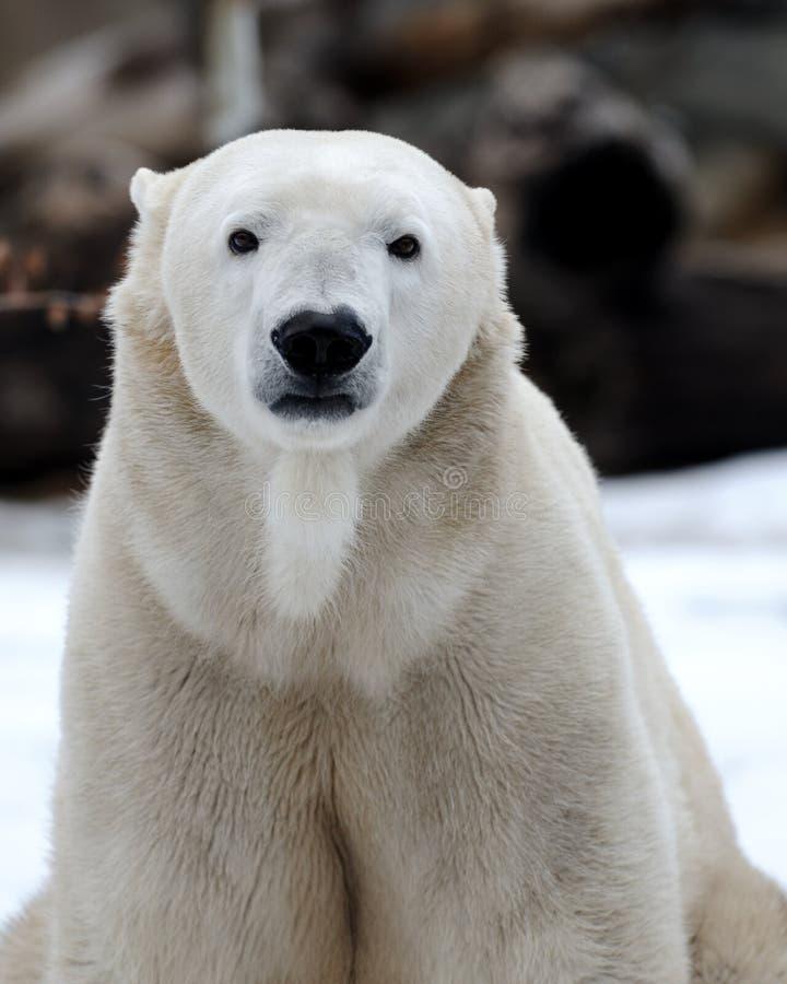 Download медведь приполюсный стоковое изображение. изображение насчитывающей шерсть - 17616767