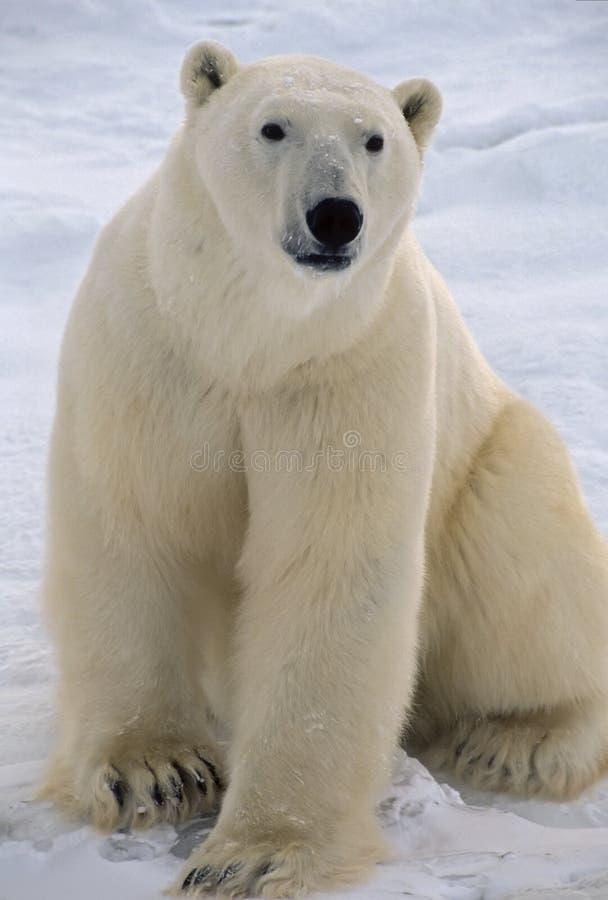 медведь приполюсный стоковые изображения rf