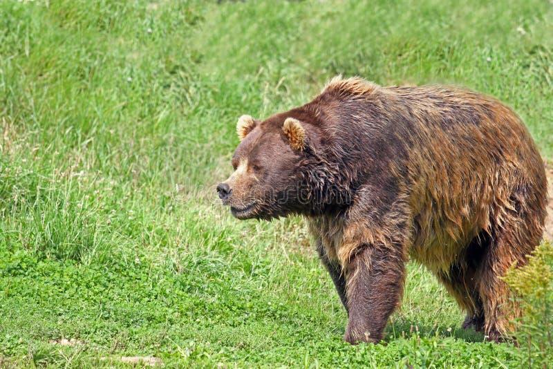 Медведь Brown стоковое изображение rf